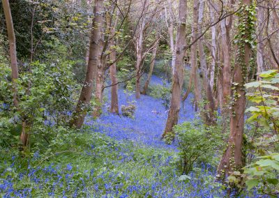 Bluebell Wood #1